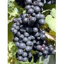 Pinor Noir